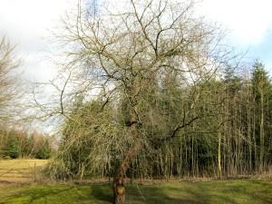 Moreltræet, hvor vandværksformanden kan plukke sig lidt honorar. (H.W.)